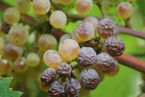 Millevin Avignon 19 November Celebration of new wine